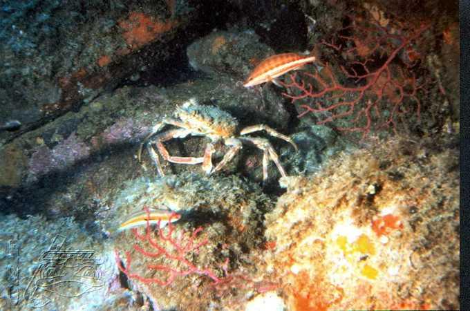 araignee-de-mer