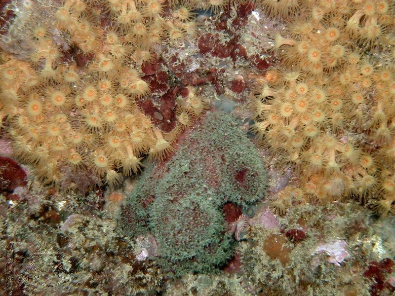 alcyon-et-anemone-encroutante-jaune
