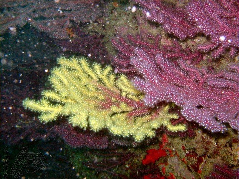 gorgone-jaune-et-rouge