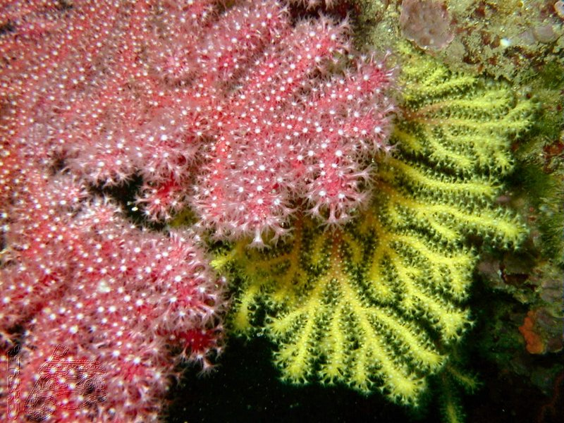 gorgone-rouge-et-jaune