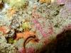 blennie-de-roux-et-corail-solitaire-jaune