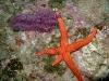 gorgone-rouge-et-etoile-de-mer-rouge