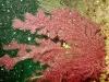 gorgone-rouge-ou-pourpre-06