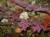 jania-et-gorgone-rouge