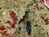 jeune-castagnole-et-oursin-grimpeur