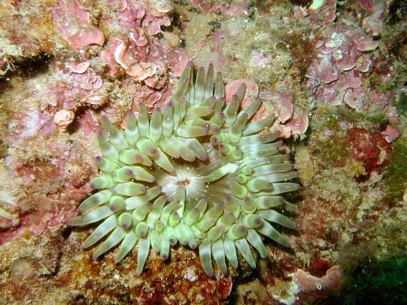 anemone-charnue-et-algue-coralligene
