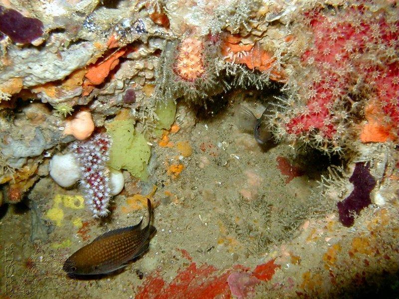 castagnole-et-corail-rouge-01