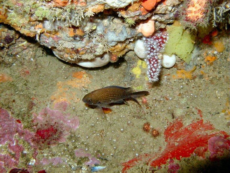 castagnole-et-corail-rouge-02