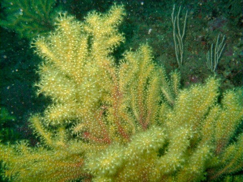 gorgone-jaune-02
