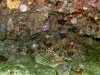 chapon-et-jeune-castagnoles
