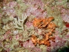 rose-de-mer-et-petit-brin-de-gorgone-blanche